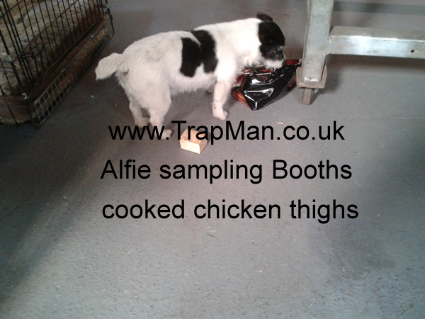 Alfie sampling Booths cooked chicken thighs, no more work for Alfie today