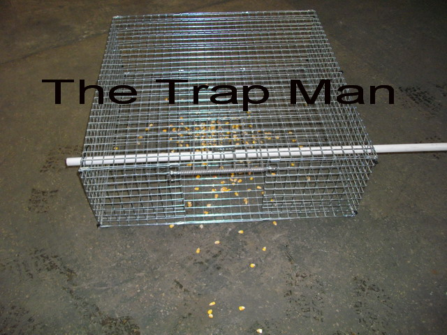 feral pigeon trap set with the bars up