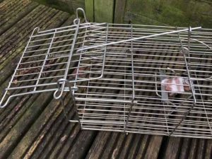 How not to set a trapman family rat trap